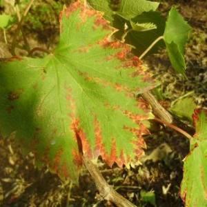 От чего и почему вянут листья у винограда