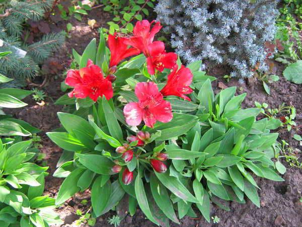 Альстромерия (alstroemeria): посадка в саду и уход за цветком, сорта