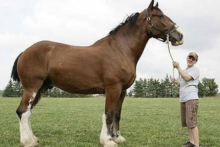 Першероны лошади фото цена