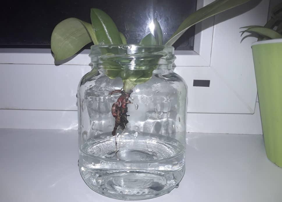 Главный вопрос: можно ли вырастить орхидею из листа?