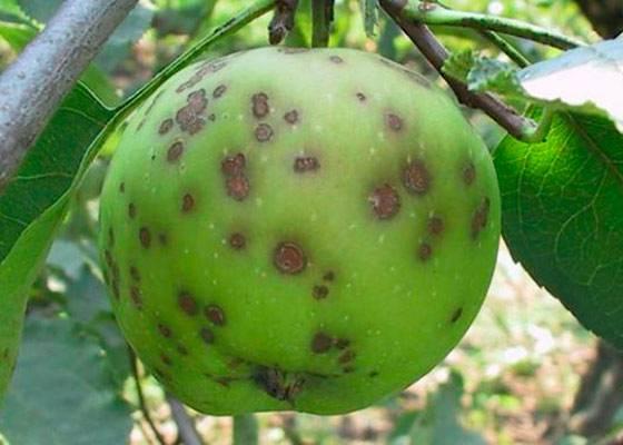 Парша на яблоне: как бороться во время плодоношения, в августе. народные средства