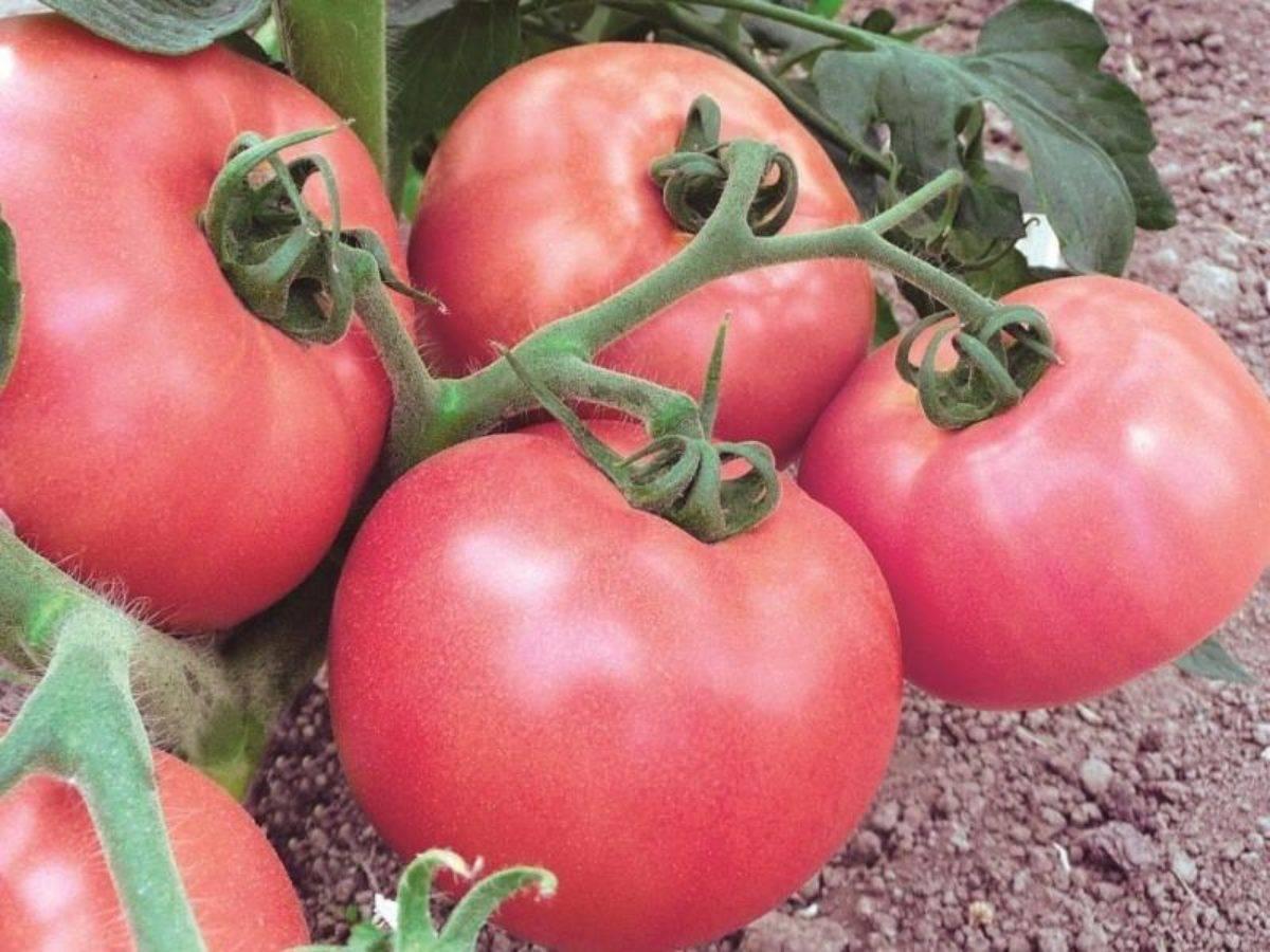 Секреты выращивания томатов Розовый мед