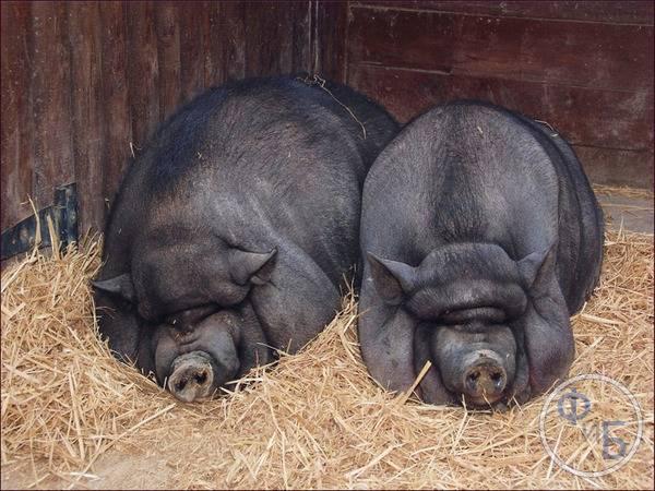 Термины свиноводства