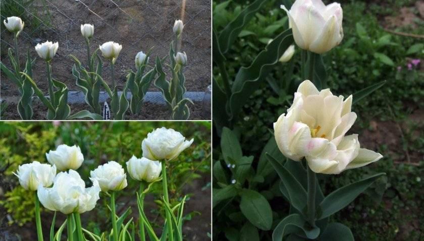Многоцветковые тюльпаны: выращиваем правильно