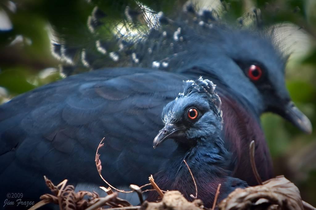 Характеристика венценосного голубя