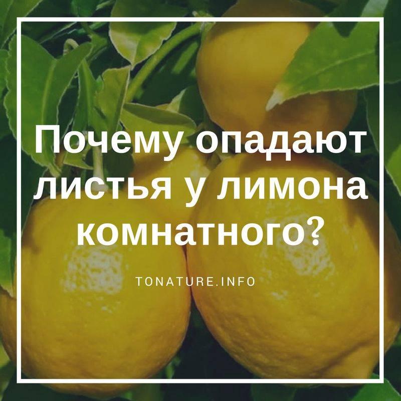 Почему у лимона желтеют и опадают листья? проблемы при выращивании комнатного лимона
