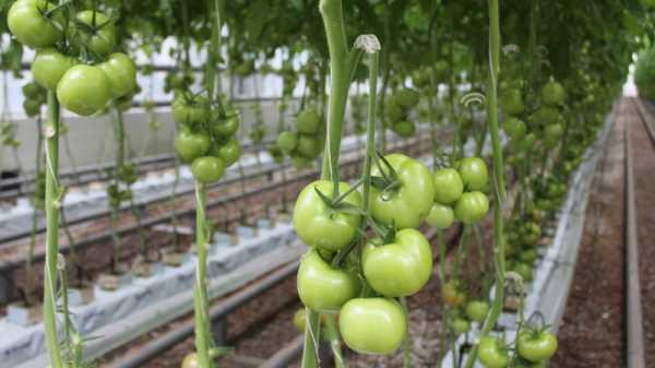 Почему не завязываются помидоры в теплице: что делать
