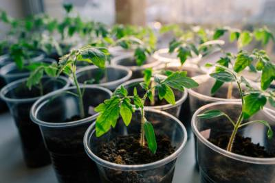 Выбираем самые благоприятные дни в 2021 году для посадки рассады помидоров в подмосковье