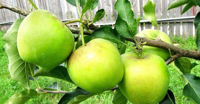Описание сорта яблони чудное: фото яблок, важные характеристики, урожайность с дерева