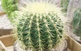 Эхинокактус: фото и виды, выращивание и уход за кактусом | спутниковые технологии