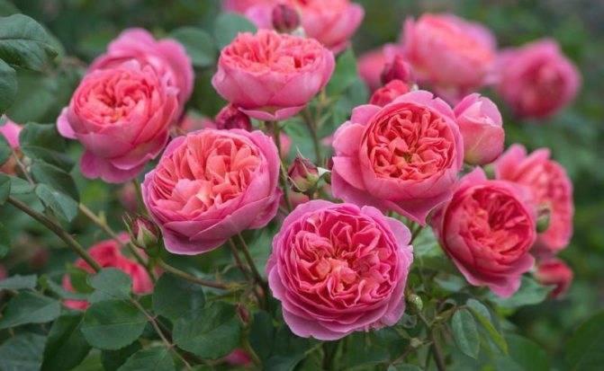 Медный купорос для роз: надежная защита от заболеваний