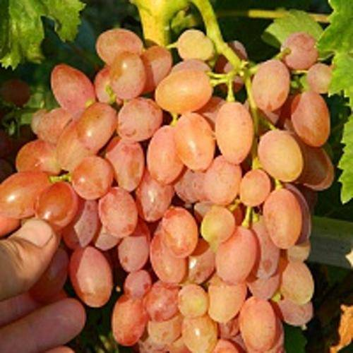 Как посадить и ухаживать за виноградом кишмиш лучистый