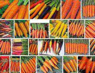 Амстердамский раннеспелый сорт моркови тушон