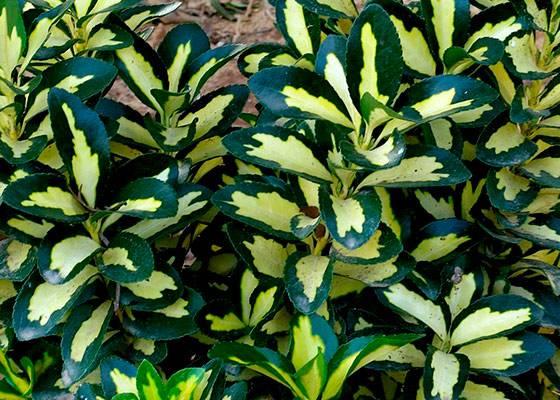 Бересклет: виды с фото, посадка и уход в открытом грунте