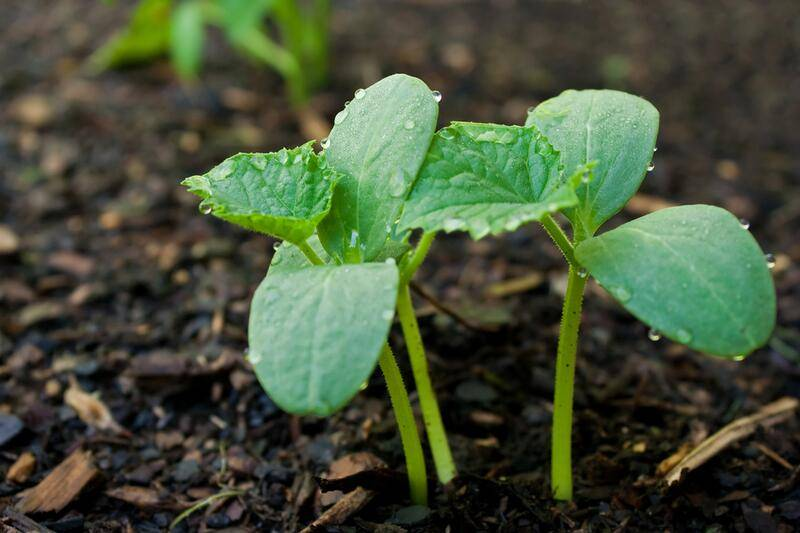 Как правильно посадить огурцы в открытый грунт семенами фото видео