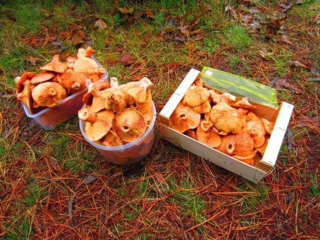Грибы рыжики: фото и описание елового, красного и настоящего рыжиков, где растут съедобные грибы
