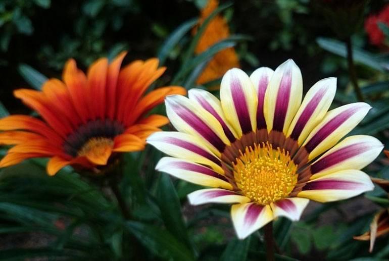 Гацания - фото цветка, выращивание из семян, посадка и уход, как сохранить зимой