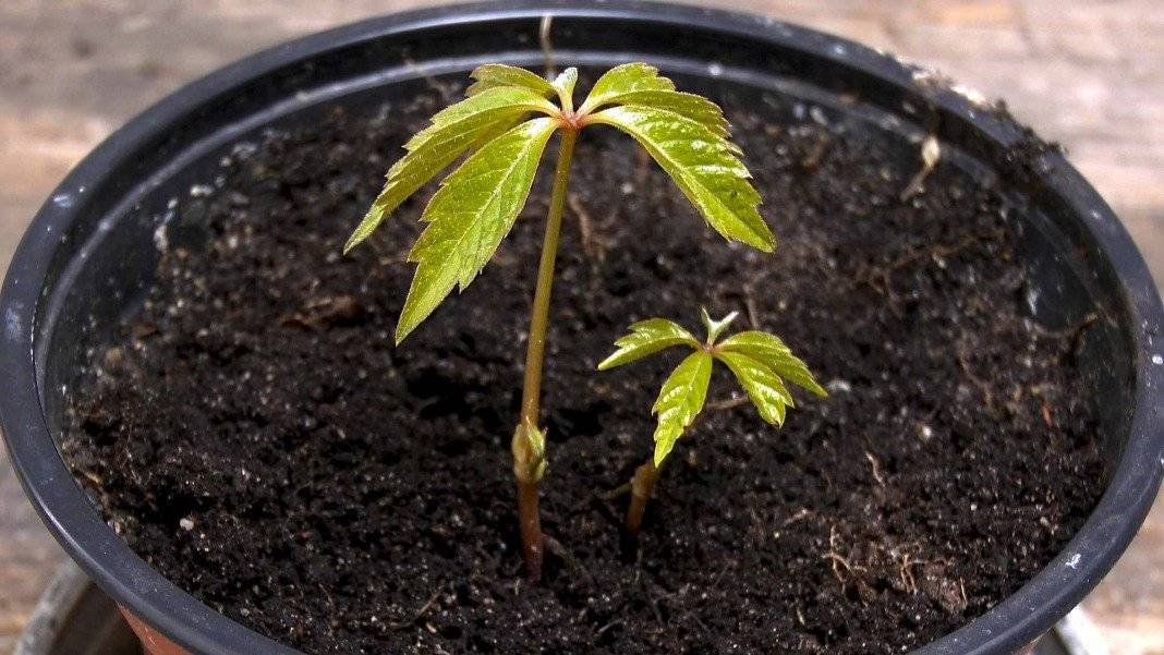 Проращивание черенков винограда в домашних условиях: способы, сроки, видео   vinograd-loza