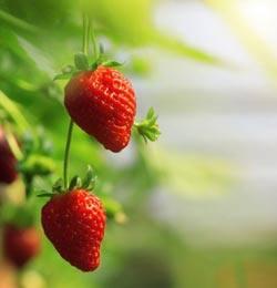 Уход за клубникой весной – вкусные ягоды с каждого куста
