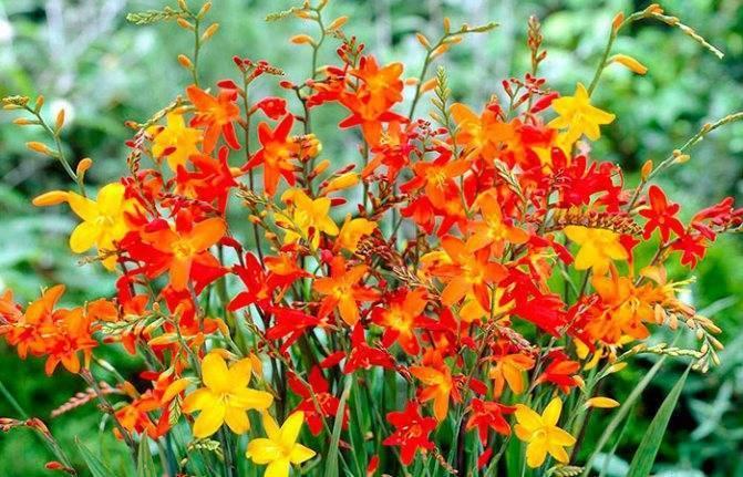 Крокосмия (монтбреция) (47 фото): посадка и уход в саду за многолетним японским гладиолусом. «люцифер» и другие сорта