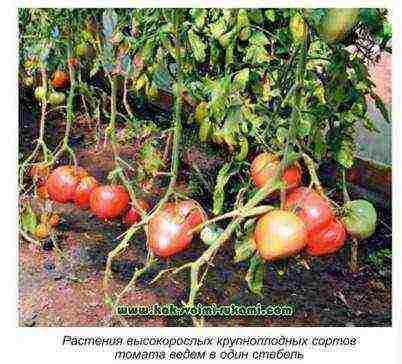 Какие удобрения вносить при посадке помидор в грунт и теплицу, особенности подкормки томатов