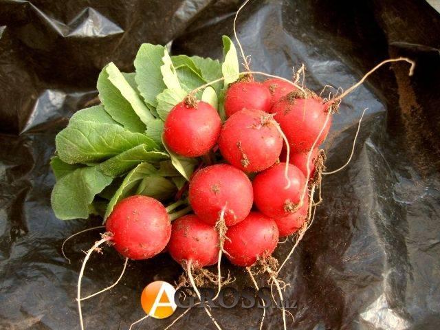 Редис селеста – лучший сорт для выращивания в теплице