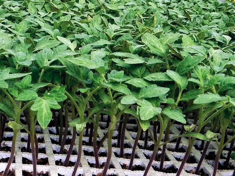 Как и когда правильно посадить помидоры на рассаду дома