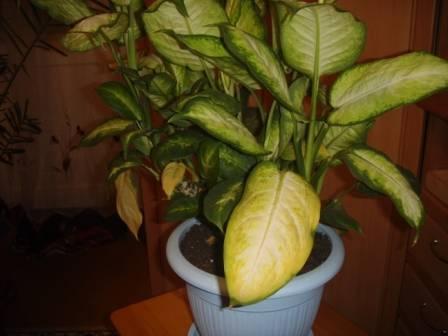 Почему у диффенбахии желтеют листья и что с этим делать?