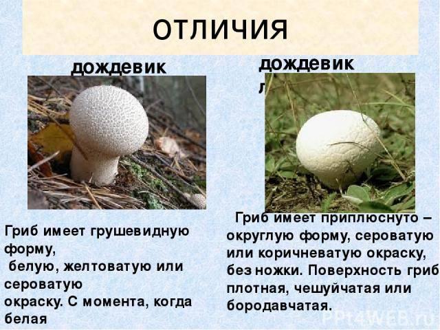 Горькушка (lactarius rufus), сухарка, горький груздь - гриб наших лесов