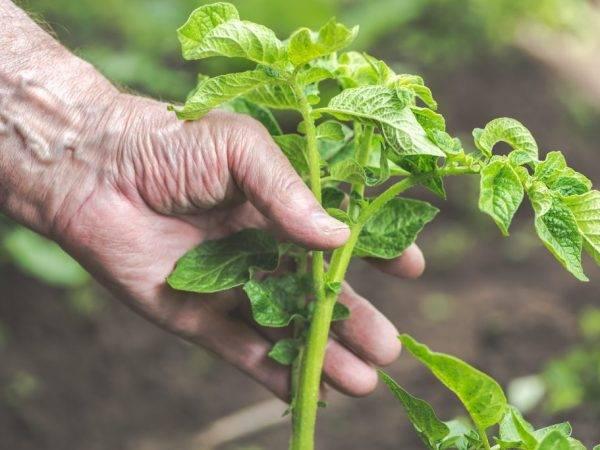 Нужна ли ботва картофелю – признаки и сроки скашивания