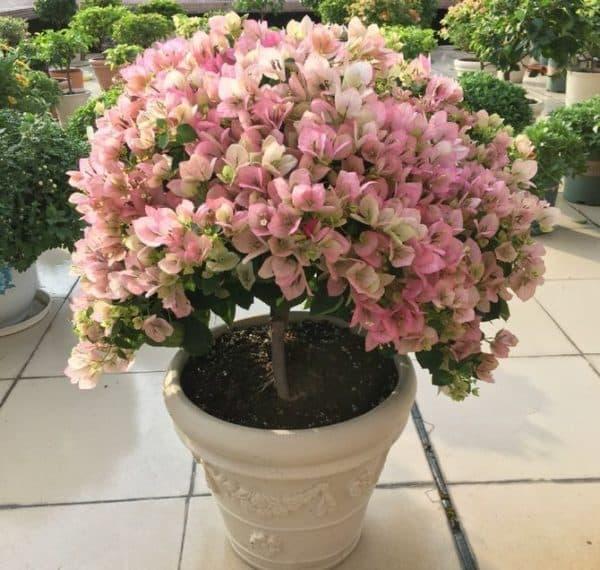Бугенвиллия - уход в домашних условиях, выращивание цветка, размножение, виды c фото