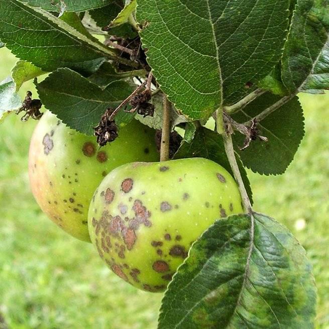 Грибок на яблоне — как побороть недуг