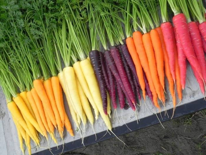 Обзор лучших сортов моркови для сибири и других регионов