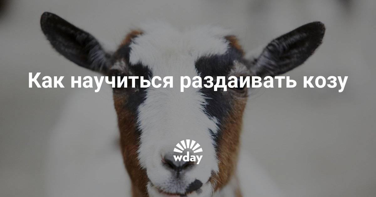 Как доить козу: рекомендации начинающим козоводам