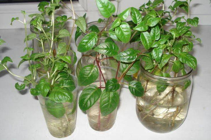 Укоренение и размножение фуксии черенками в домашних условиях