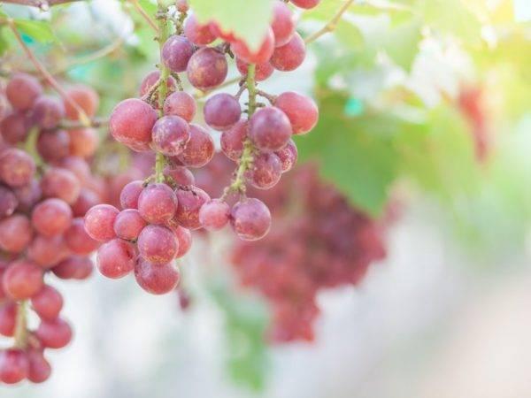 Виноград кишмиш розовый: что нужно знать о нем, описание сорта, отзывы