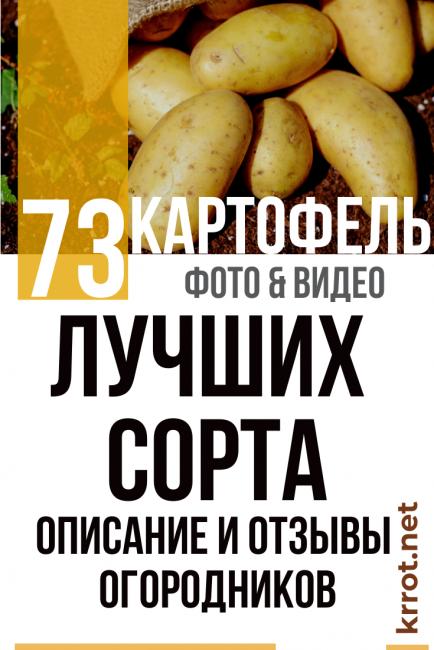 """Какие сорта картофеля самые вкусные и урожайные? - журнал """"совхозик"""""""