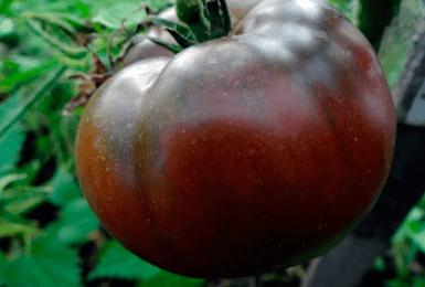 Описание томата «шоколадное чудо»: польза, вкус, основные характеристики