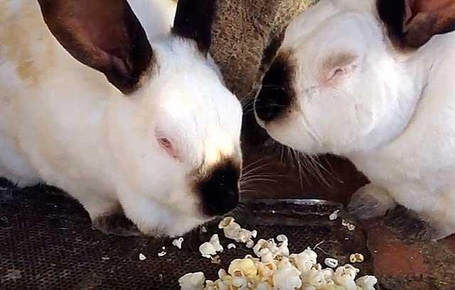 Откорм кроликов: выращивание и разведение мясной породы в домашних условиях