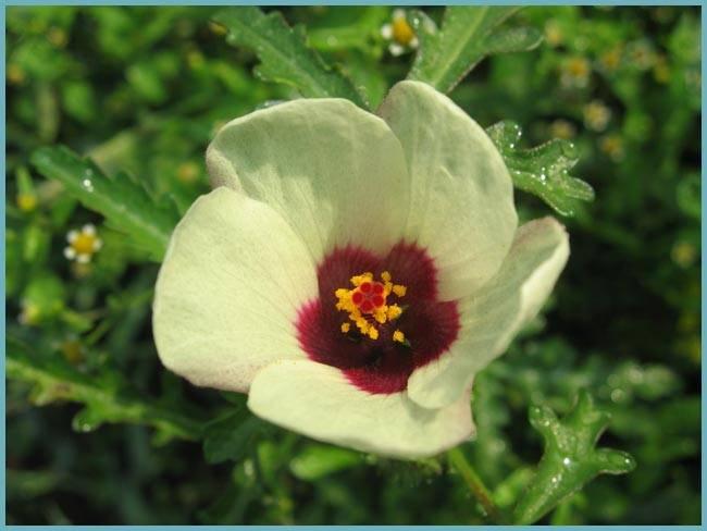Садовый гибискус - 115 фото, варианты ухода и обзор применения в дизайне красивых цветов