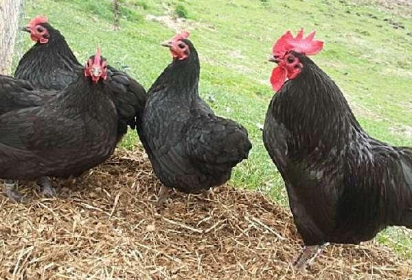 Московская черная порода кур (29 фото): описание породы, цыплята, несушки и петухи с вкраплением белого и голубого оперения, отзывы владельцев