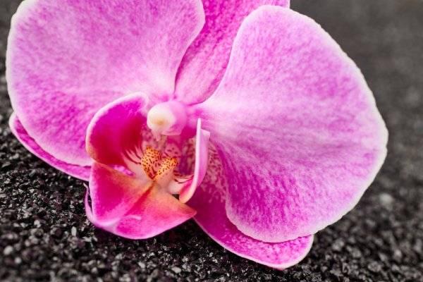 Орхидеи фиолетового цвета: названия видов и сортов, их фото и характеристика, а также описание нюансов ухода, подкормки, пересадки и размножения русский фермер