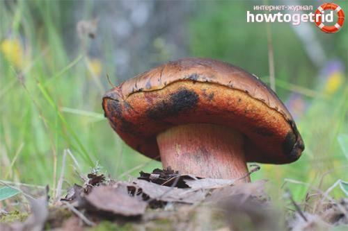 Съедобные грибы белгородской области: какие грибы можно собирать
