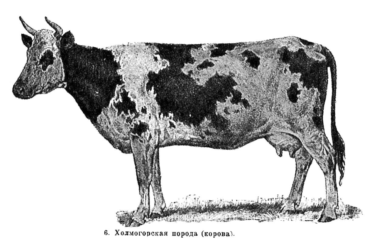 Быки холмогорской породы: характеристики, описание и фото