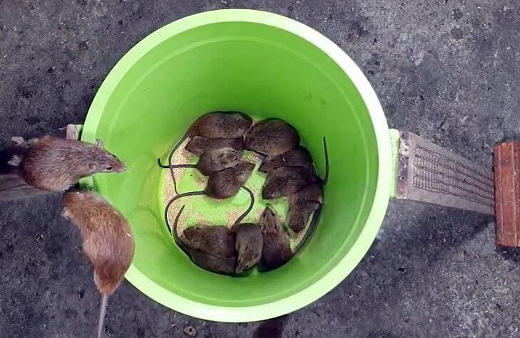 Борьба с крысами в курятнике?