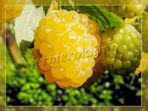 Выращиваем жёлтый гигант: крупноплодную ароматную малину