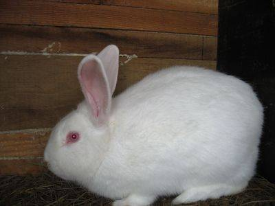 Кролик белый паннон: характеристика и описание породы, правила ухода
