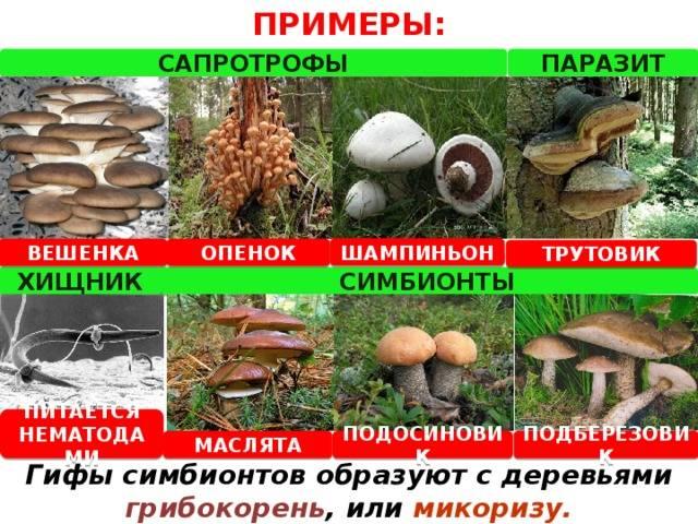 Грибы хищники названия грибов