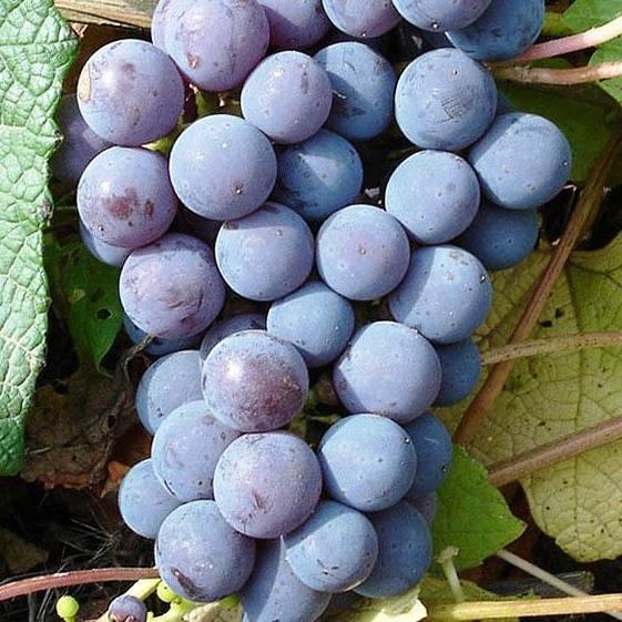 Виноград глаша: что нужно знать о нем, описание сорта, отзывы