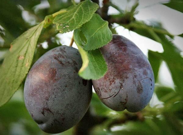 Самоплодная слива сорта венгерка: описание разновидностей белорусская, корнеевская и других